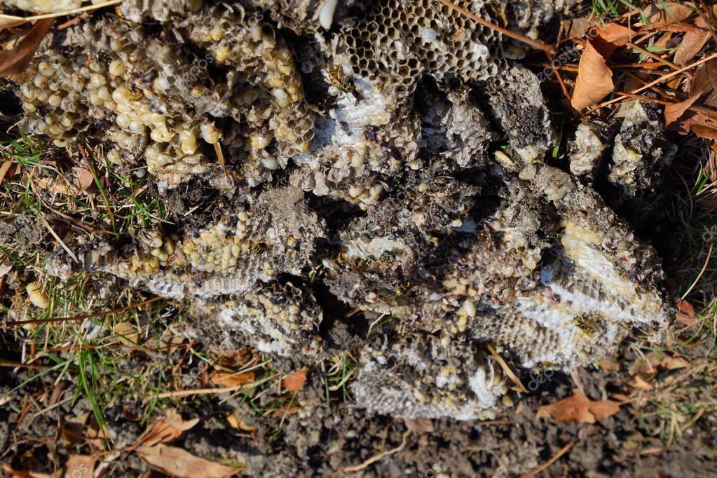 Как избавиться от осиного гнезда на даче: быстро и без вреда