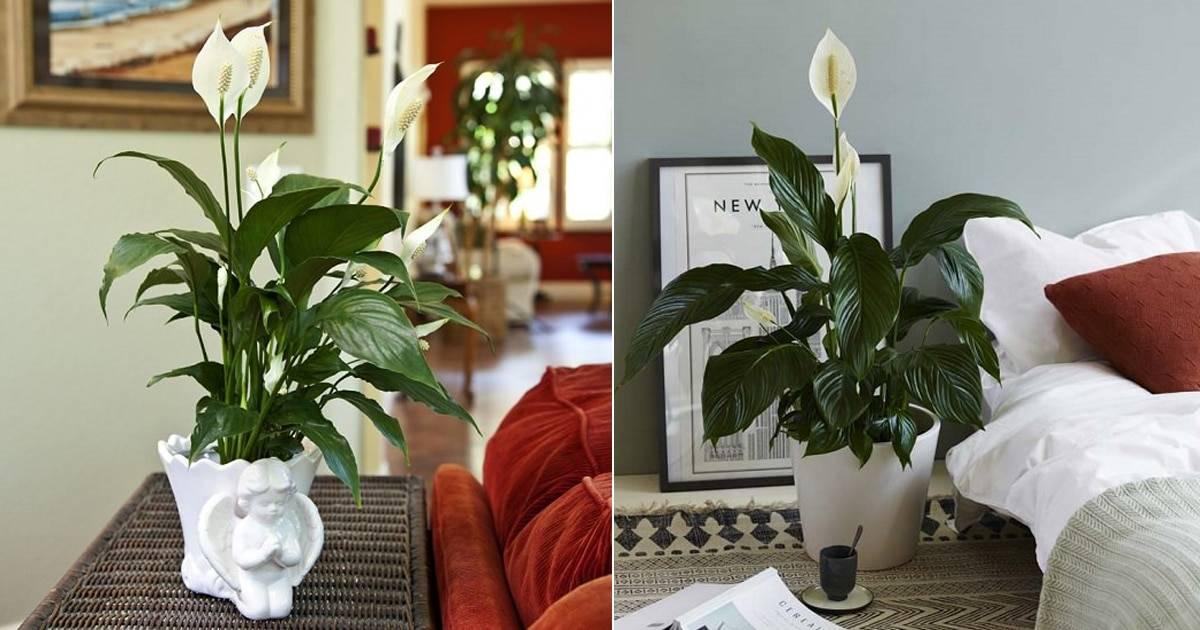 Можно ли держать дома восковой плющ (хойю): приметы, легенды и суеверия + вред и польза комнатного цветка для человека