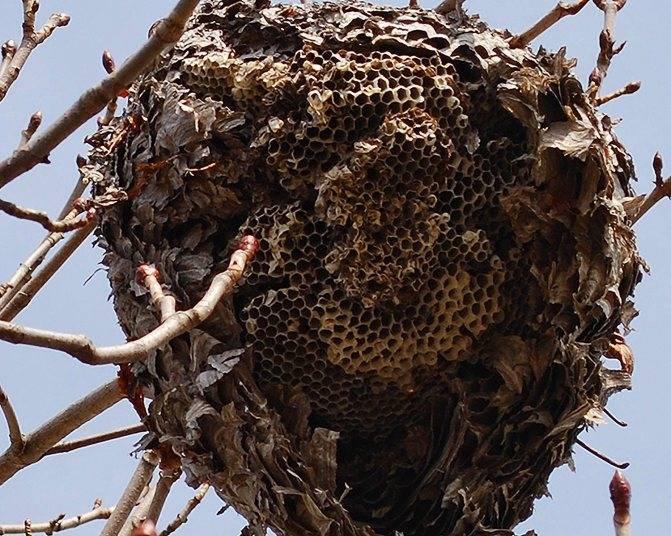 Осиное гнездо на балконе либо в доме: примета, ее значение и толкование сна
