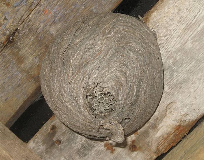 Осиное гнездо: топ-13 способов борьбы с осами на участке   огородники