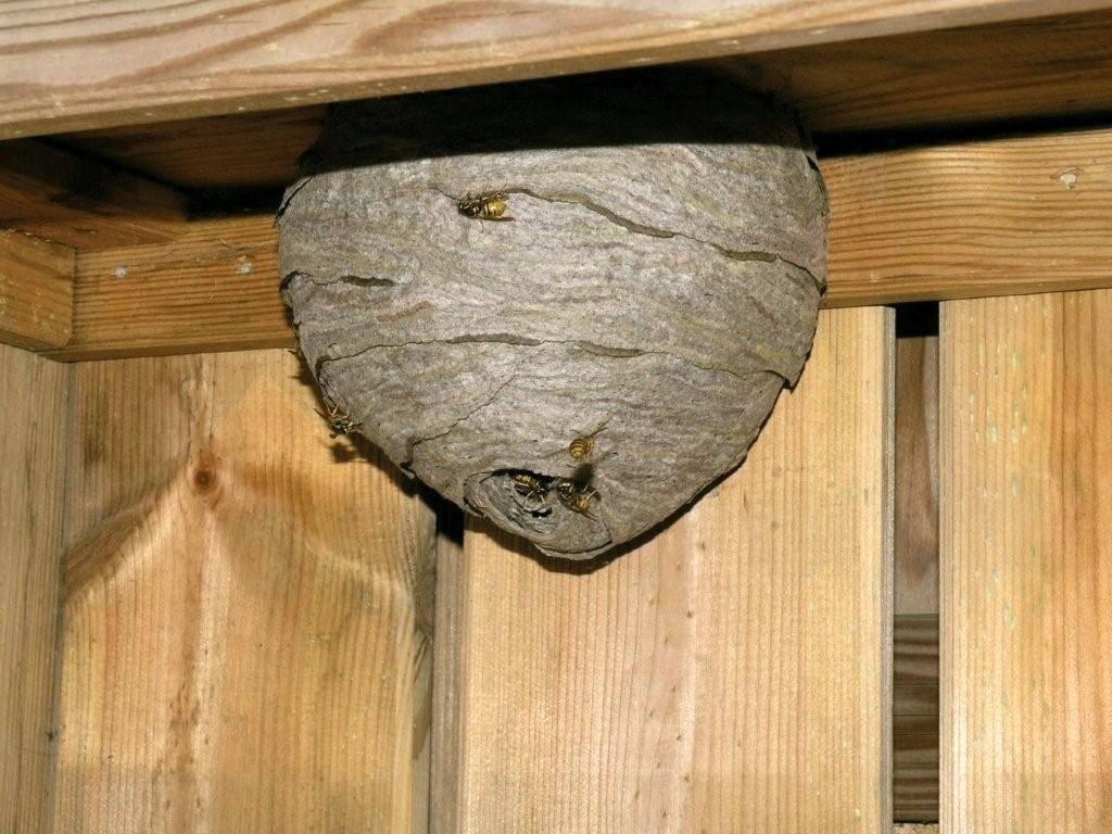 Жужжащее соседство:почему нельзя разрушать осиное гнездо