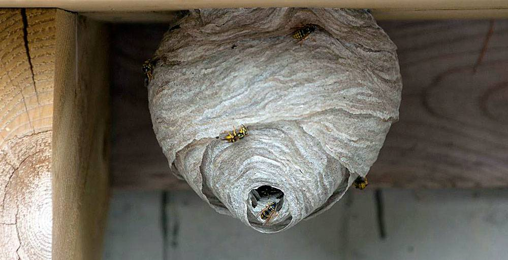 Осиное гнездо в доме: старинная примета и суеверия