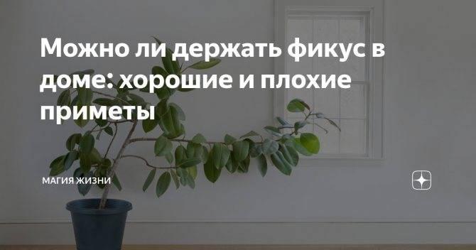 Приметы и суеверия о молочае миля, трехгранном и беложильчатом: можно ли держать комнатное растение дома?