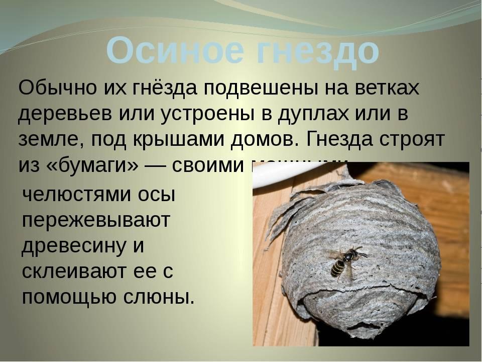 Приметы про осу: укусила, залетела в дом, села на человека, свила гнездо