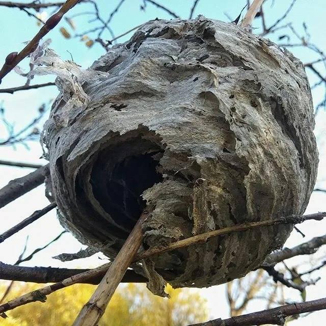 Что делать, если обнаружили осиное гнездо? меры предосторожности для человека