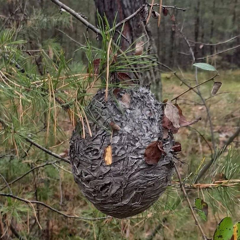 Как уничтожить земляных ос и осиные гнёзда в земле. земляные осы и опасности соседства