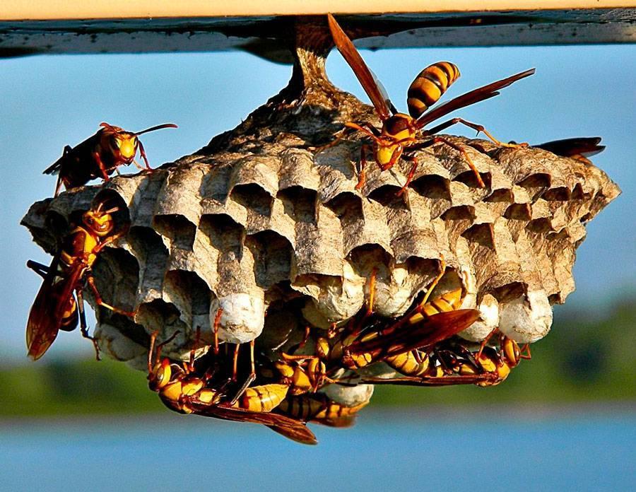 Проверенные способы, как правильно и безопасно убрать осиное гнездо
