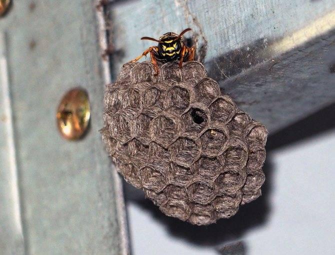 Как убрать осиное гнездо: способы уничтожить улей в доме или на даче