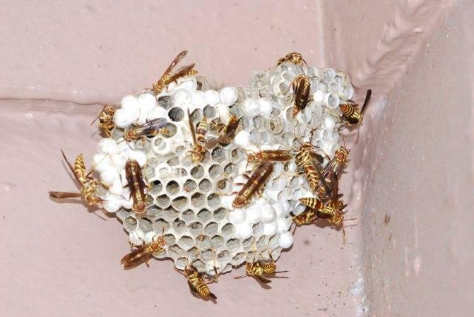 Как избавиться от ос, вывести осиное гнездо быстро и безопасно: наиболее эффективные методы